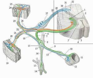ГИПЕРГИДРОЗ - Прохождение сигнала в симпатической нервной системе