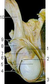 Анатомический препарат яичка